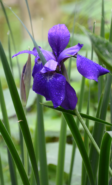 EG Siberian Iris