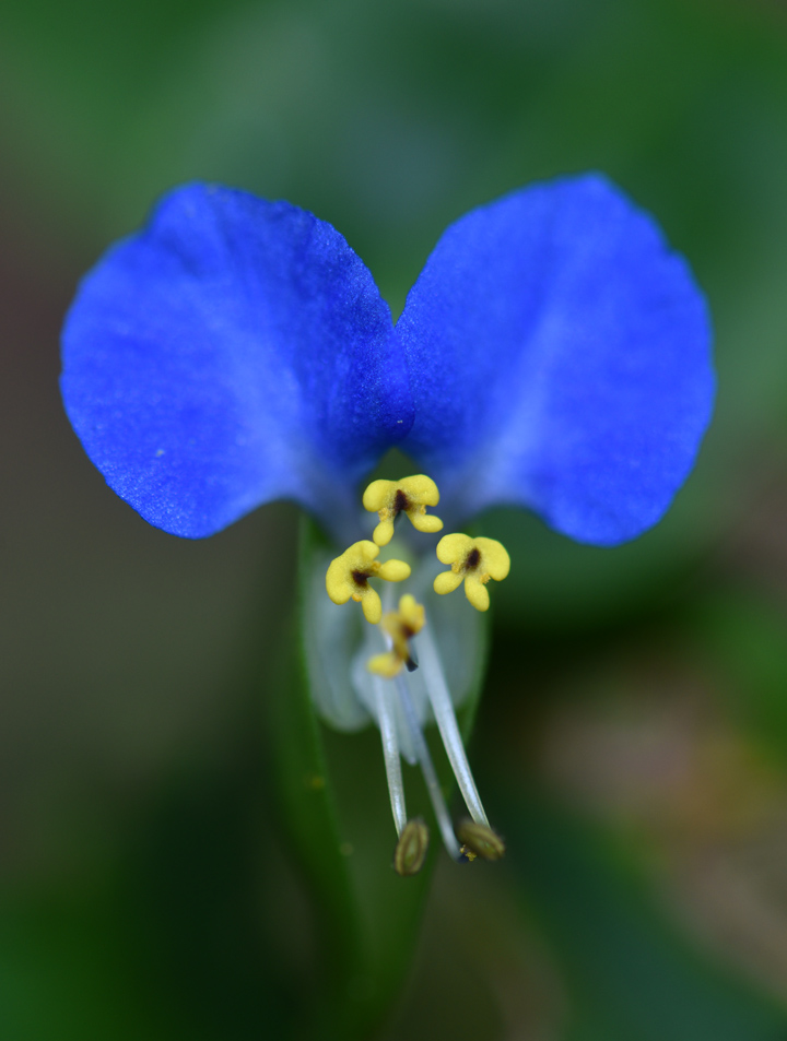 The common dayflower is a beautiful weed. But is it really a weed? You decide.