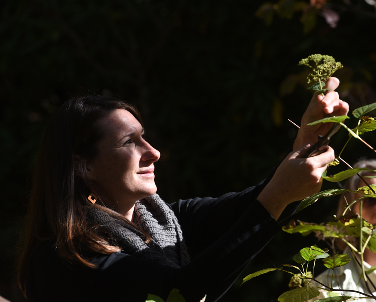 Megan Palomo, nursery manager for Tree Pittsburgh harvest seeds from a native hydrangea at Fallingwater. She was there to collect seeds from native trees and shrubs. The seeds will be taken to the Tree Pittsburgh Heritage Nursery and grown out to use in forest restoration.