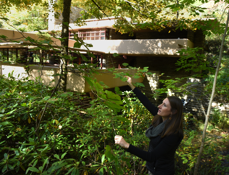Megan Palomo, nursery manager for Tree Pittsburgh collects seeds of witch hazel in front of Fallingwater. She was there to collect seeds from native trees and shrubs. The seeds will be taken to the Tree Pittsburgh Heritage Nursery and grown out to use in forest restoration.