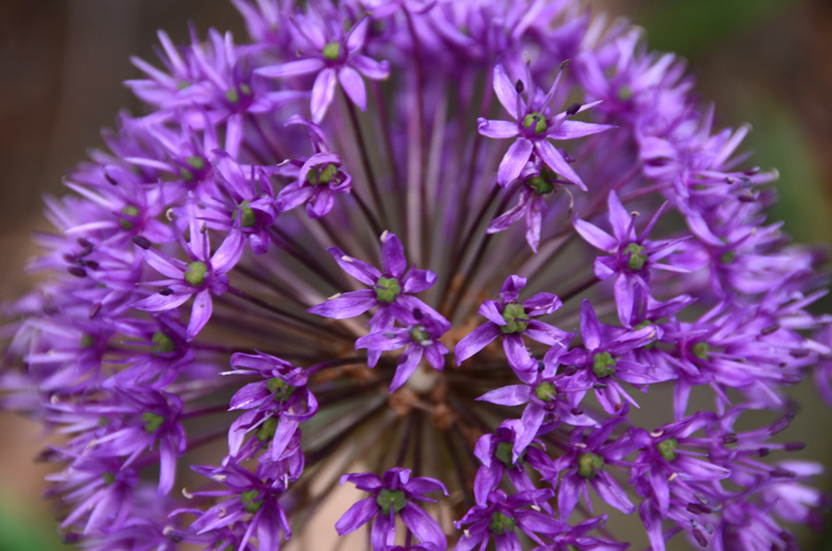 Lisa Jenkins, co-owner of Jim Jenkins Lawn and Garden in Upper St. Clair love alliums like this one as they are beautiful and deer proof. The bulbs are planted now for May blooms.