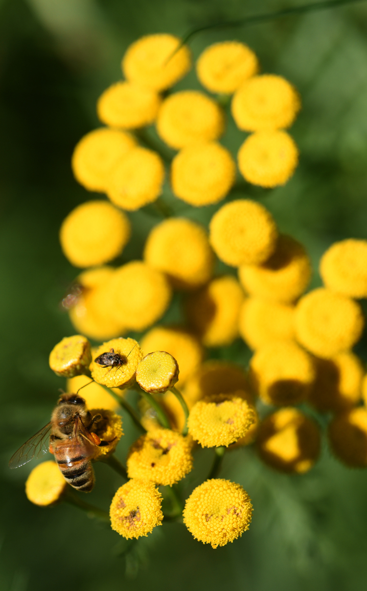 There's one area in the gardens at the Westmorland County Penn State Extension in Greensburg that doesn't get disturbed at the end of the season. A honeybee and other insects enjoy tansy flowers in the insectary. It's an area planted to help and attract beneficial insects and pollinators.