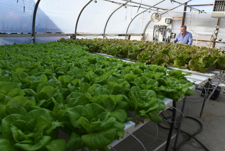 Dan Yarnick, owner of Yarnick's Farm in Indiana looks over a greenhouse filled with lettuce grown hydroponically.