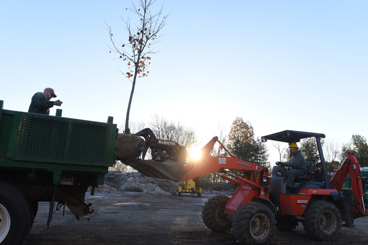 Chuck Philistine (left) guides Gary Ord as he loads a large maple tree onto a truck at The Davey Tree Expert Company in Lawrence, Pa. The two are landscape foremen for the company. Despite cold temperatures, trees can be planted until the ground freezes solid.