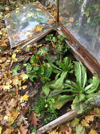 These two cold frames are made out of rough cut cedar and old plastic skylights.