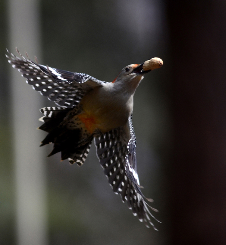 A red bellied woodpecker flies off with a peanut from a birdfeeder. Woodpeckers and other birds can be attracted to the landscape by offering water, food and shelter. Like daffodils, the sound of this bird's call brings hope that spring will arrive sooner than later.