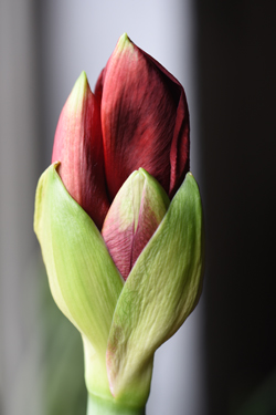 Amaryllis bulbs are a popular gift for the holidays. They have everything they need to bloom and can be kept as houseplants to enjoy the flowers annually for many years.