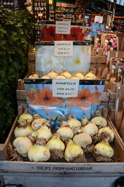 These Amaryllis bulbs in Amsterdam, Holland were the biggest I'd ever seen. They were larger than grapefruits. The bulbs are popular gifts for the holidays. They have everything they need to bloom and can be kept as houseplants to enjoy the flowers annually for many years.