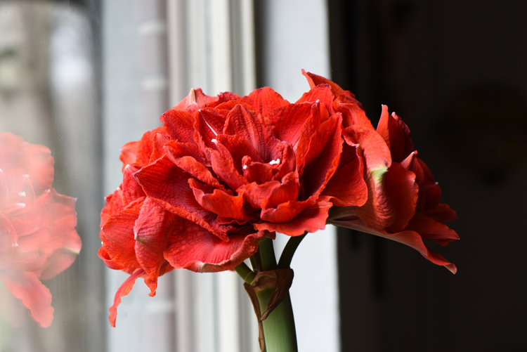 Amaryllis 'Double King' puts on quite a show. Amaryllis bulbs are a popular gift for the holidays. They have everything they need to bloom and can be kept as houseplants to enjoy the flowers annually for many years.