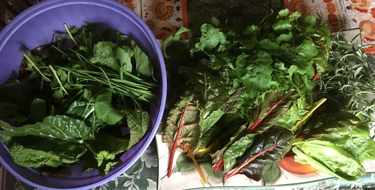 I can't wait to serve this garden salad of arugula, Swiss chard, oregano, lettuce and garlic greens. Photos by Doug Oster Tribune-Review