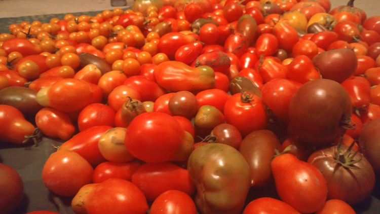 Matthew Goehring loves to garden with his family. This is just some of his tomato harvest.