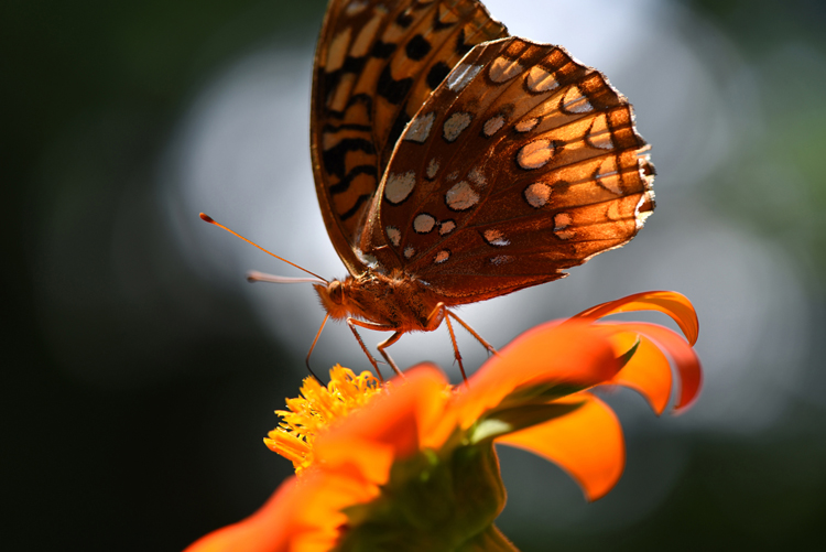 Tithonia or Mexican sunflower is one of the seeds carried by Lake Valley Seeds which attracts pollinators like this butterfly.