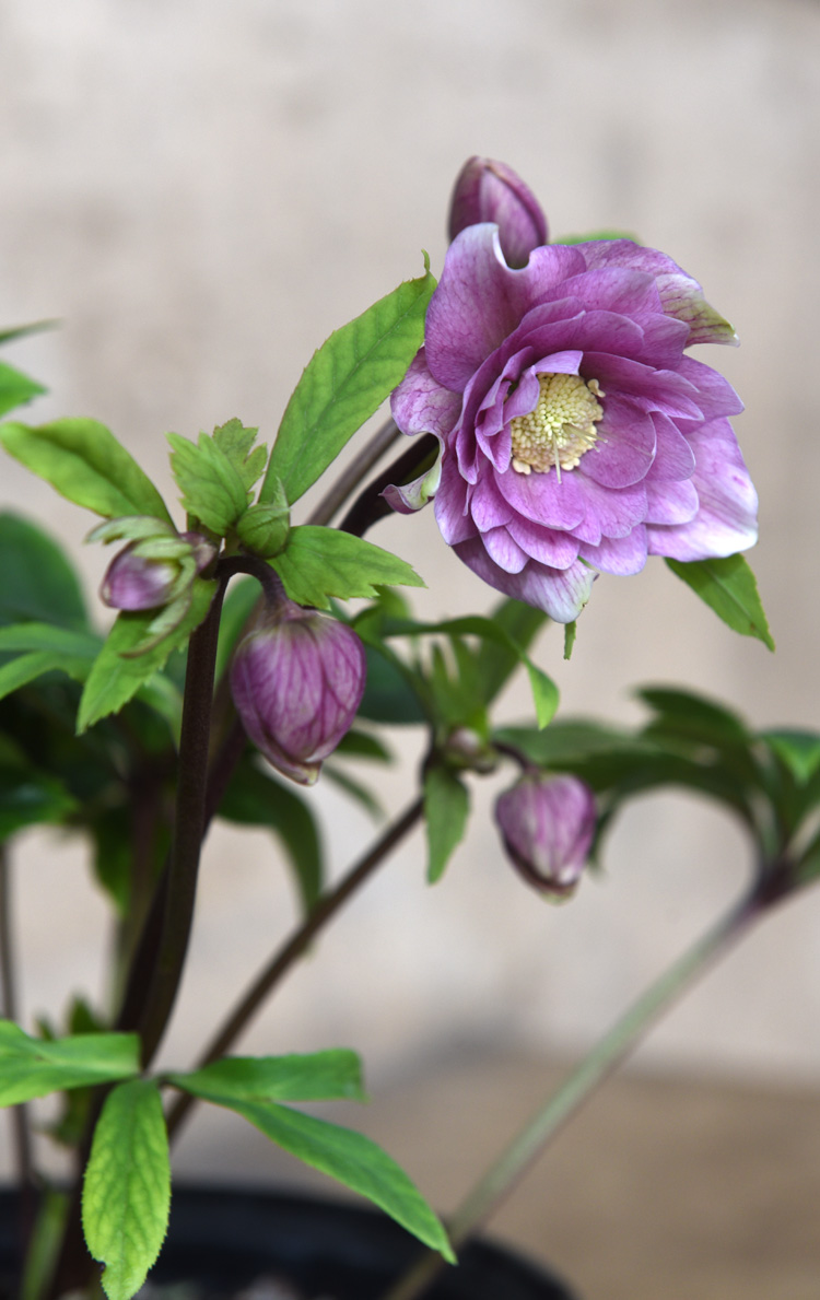 'Maid of Honor' is a new hellebore from Walters Gardens. Photos by Doug Oster Tribune-Review