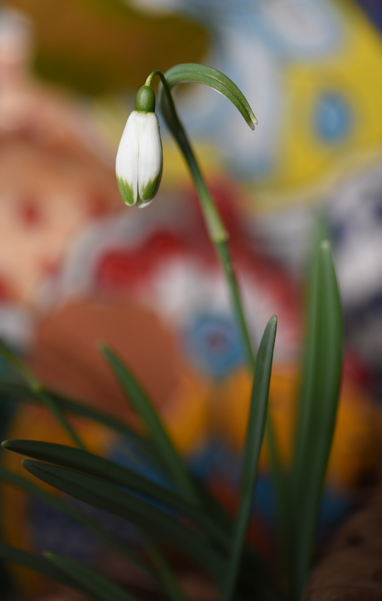 A blog another nice colorful snowdrop