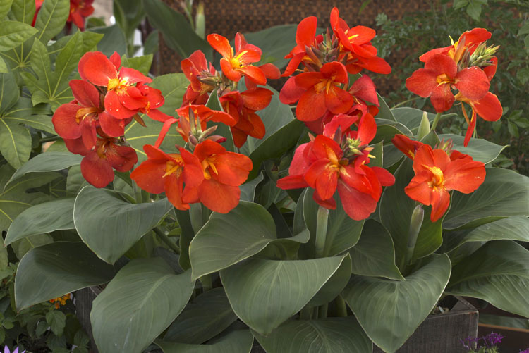 Canna 'South Pacific Scarlet' was an All-America Selection winner in 2013. Photo courtesy of All-America Selections