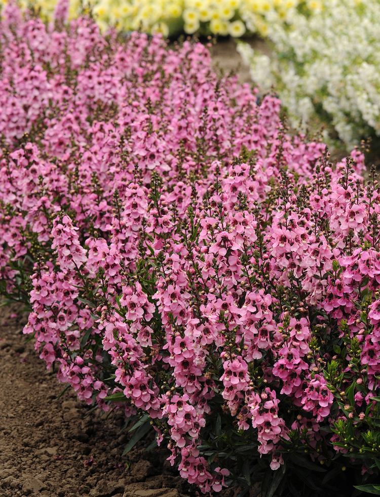 Angelonia 'Serenita Pink,' is an All-America Selections winner. It's easy to grow. This annual thrives in full sun, shrugs off the heat and is deer/rabbit resistant. Beautiful pink flowers with purple throats cover 12 inch spikes putting on a summer show in the garden.