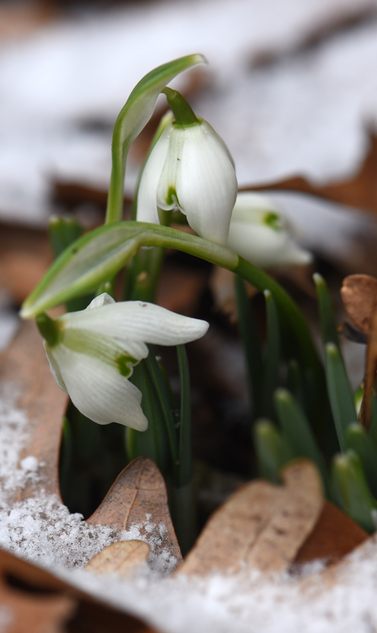 Snowdrops are tiny, the flowers are only about a 1/4 of an inch across. They are the star of the winter garden though.