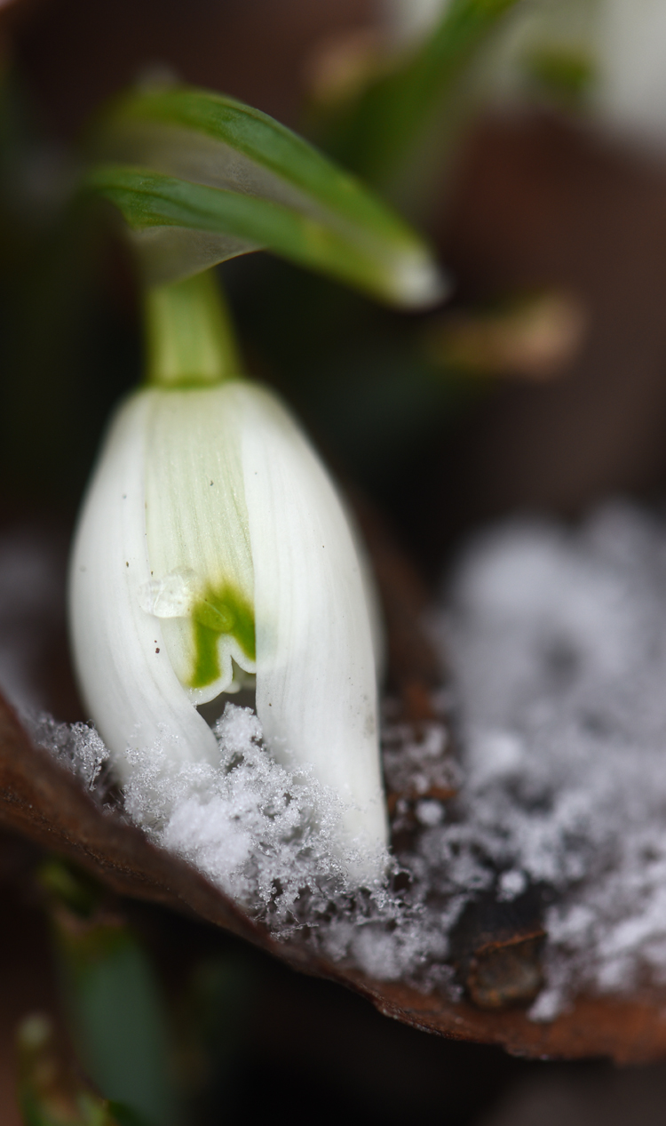 It's wonderful to see snowdrops blooming in mid-winter. Photos by Doug Oster Everybody Gardens