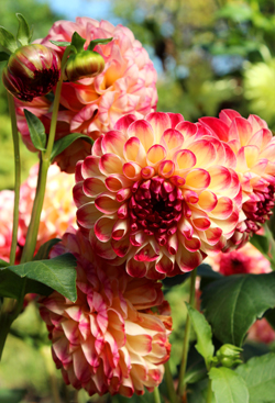 'Kaiser Whilhelm' is one of the few dahlias which have survived from the 19th century. It's one that Scott Kunst of Old House Gardens treasures.