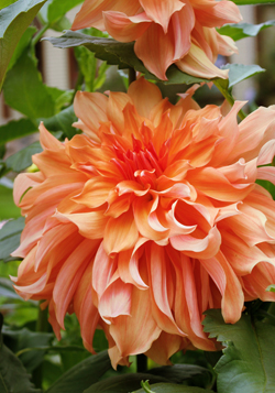 'Jane Cowl' is one of the favorite dahlias of Scott Kunst of Old House Gardens.