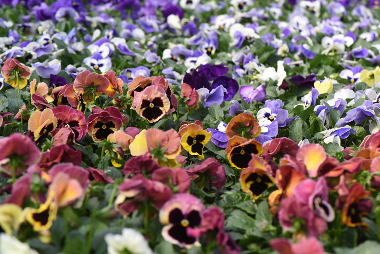 This Is A Bench Filled With Pansies At Laurel Nursery And Garden Center In Latrobe