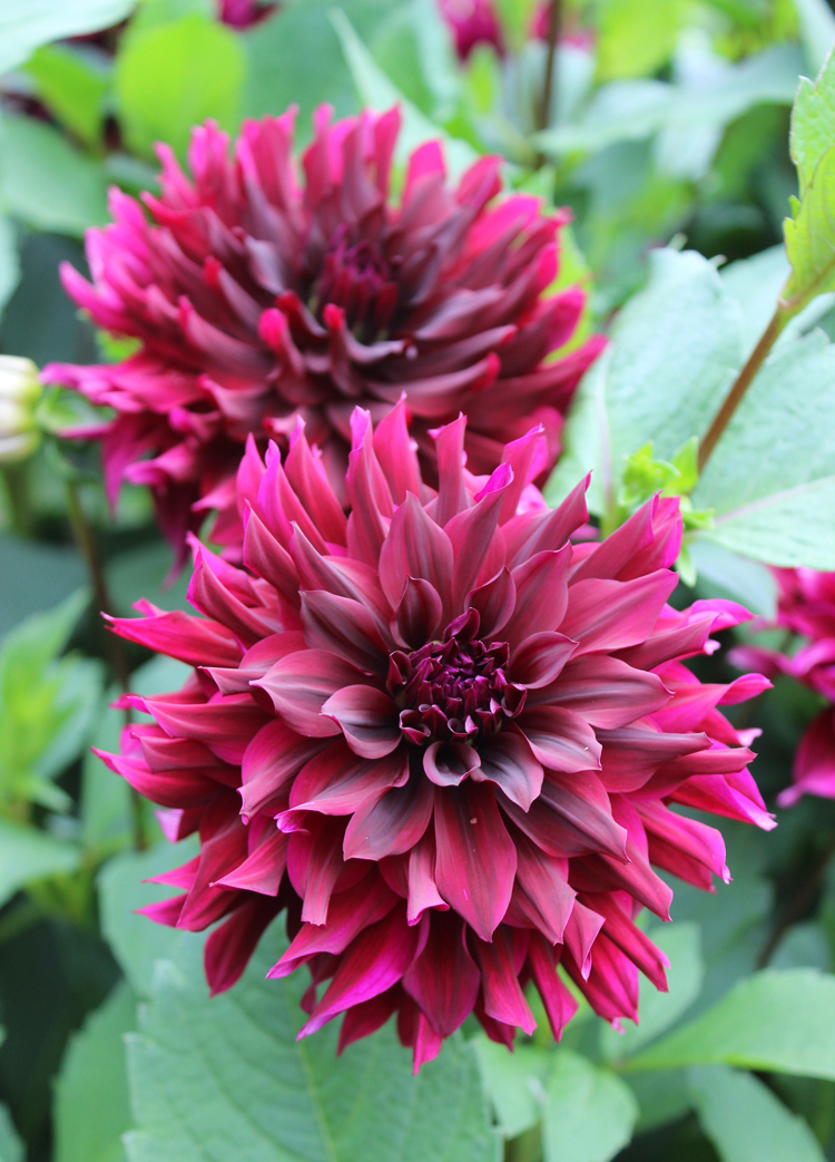 'Prince Noir' is one of the favorite dahlias of Scott Kunst of Old House Gardens.