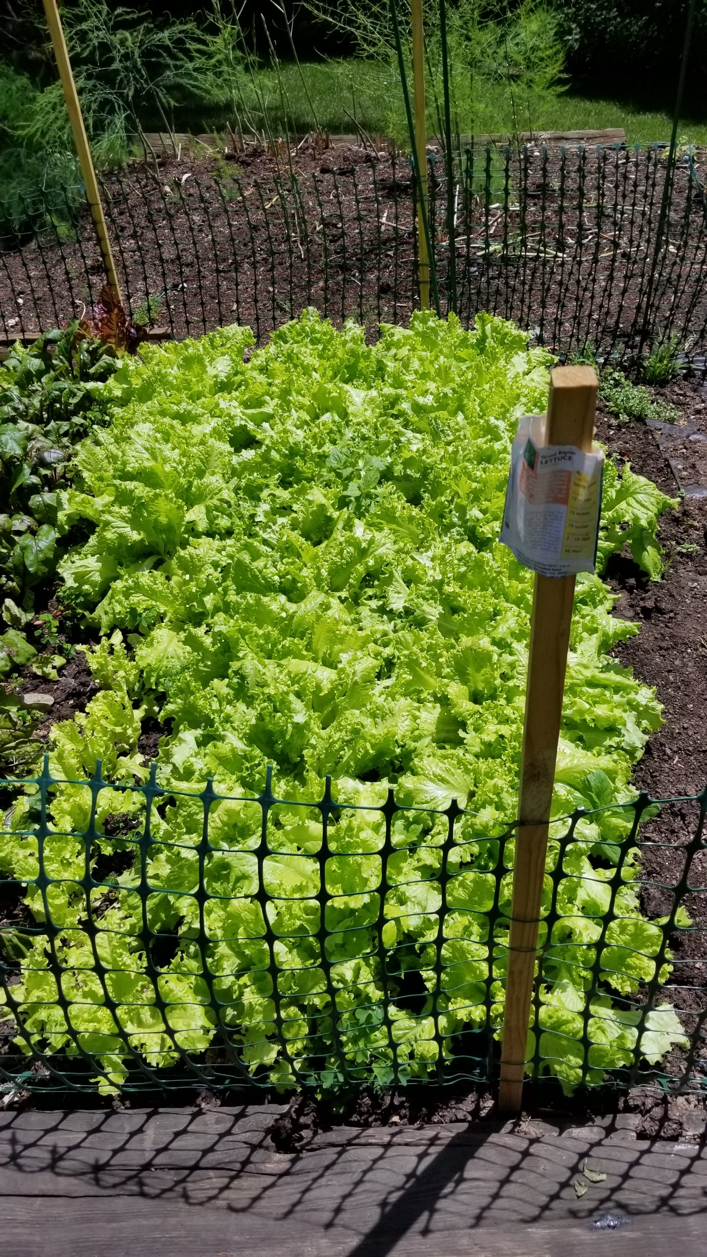 plentiful crop of grand rapid lettuce