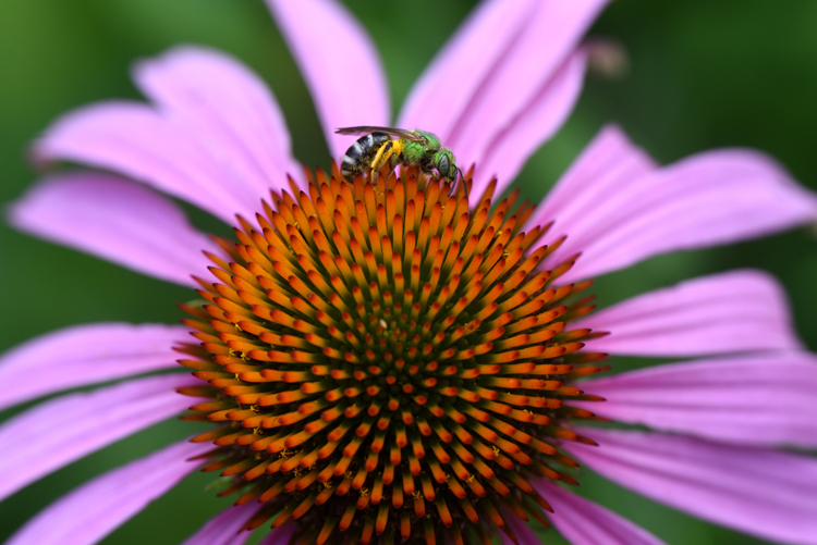 A native bee visits a coneflower at the Pittsburgh Zoo and PPG Aquarium. This is in a garden outside the education center.