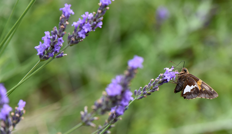 A Butterfly Visits A Lavender Plant In A Garden Bed At The Pittsburgh Zoo  And PPG