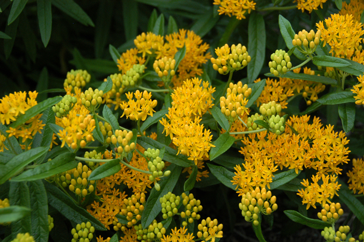 "This butterfly ""flower"" often called butterfly weed is a great pollinator plant. Asclepias tuberosa 'Hello Yellow' from American Beauties Native Plants acts as a host plant for many pollinators and provides nectar."