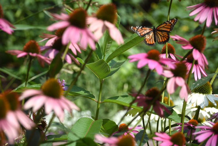 The Turtle and Fish Pond Garden at Magee Women's Hospital of UPMC provides food for patients and others at the hospital. It's also a quiet place for reflection. A monarch butterfly flies between purple coneflower plants.