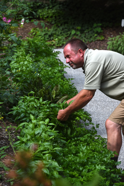 The Turtle and Fish Pond Garden at Magee Women's Hospital of UPMC provides food for patients and others at the hospital. It's also a quiet place for reflection. David Slowik harvest basil for the hospital kitchen from the garden.