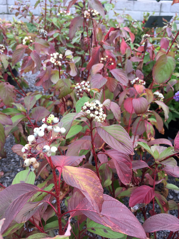 Red twig dogwood 'Baileyi' is one of the deer resistant shrubs recommended by Randy Soergel, owner of Soergel Greenhouses in Wexford.