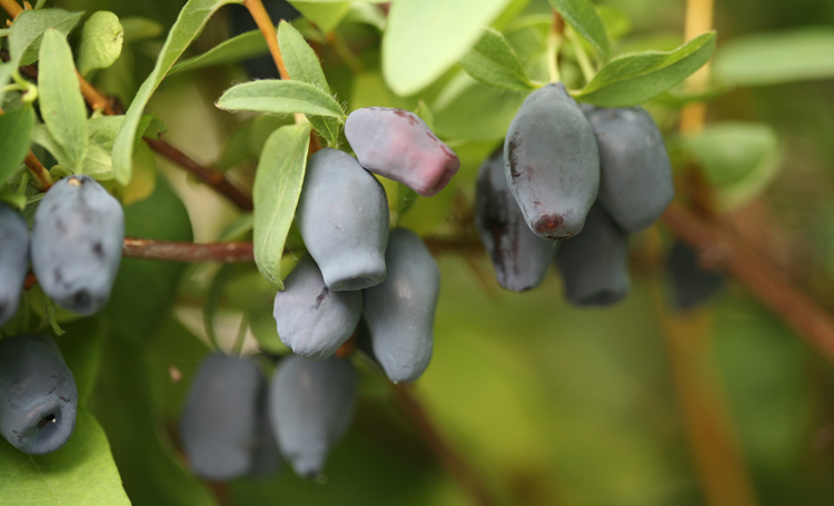 Yezberries or haskaps (Lonicera caerulea) are an easy to grow edible that grows like a shrub from Proven Winners Color Choice Shrubs.