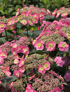 Planting shrubs like 'Tuff Stuff' mountain hydrangea will give gardeners a long bloom time.