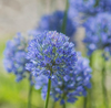 Allium caesium has beautiful blue flowers in May. The variety is available from John Scheepers Beauty From Bulbs.