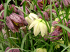 Fritillaria meleagris blooms with a variety of colors in the spring. The variety is available from John Scheepers Beauty From Bulbs.