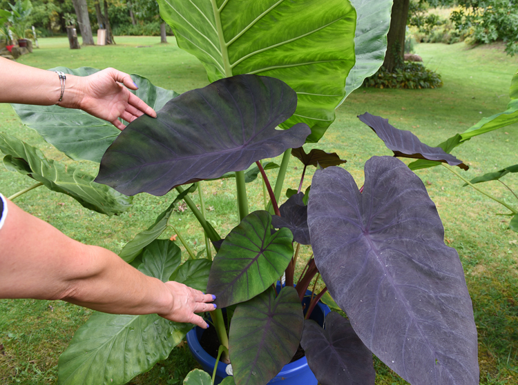 Elephant Ears And Brugmansia Plants Bring Gardener Joy