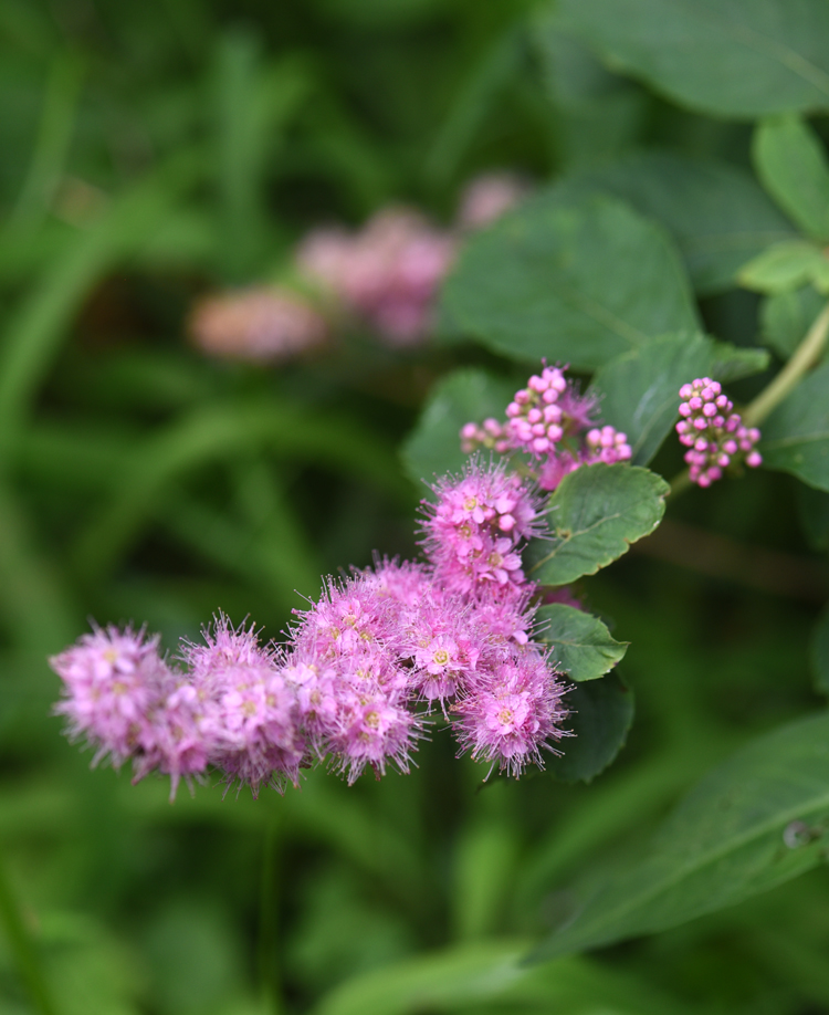 Spirea billiardi, sometimes referred to as Spirea tomentosa has been around since the 1800's, but is a little known shrub. Photo by Doug Oster