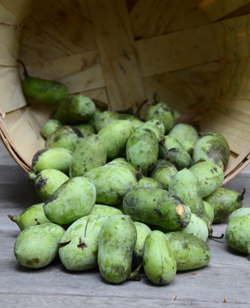 This is just the first batch of pawpaw fruit harvested this season.