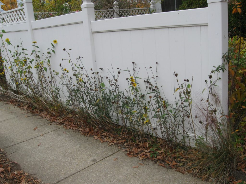 The sunflower border on my back fence line is dying back as the gardening season comes to a close. Kathy Jentz loves her weeds. You should love your weeds too
