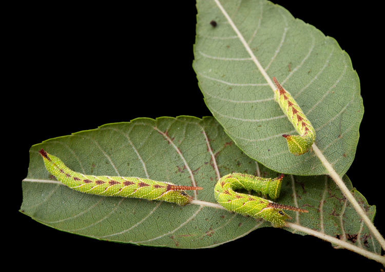 The North American walnut sphinx caterpillar lets out a bird like scream when attacked. Photo courtesy National Audubon Society