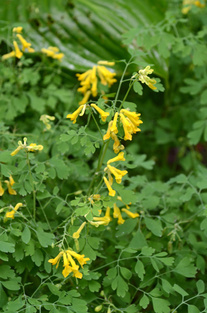 Corydalis lutea is a long blooming perennial plant that's deer resistant. Fall planting will make spring so much better.