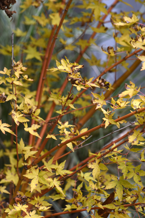 The leaves and bark of Japanese maple 'Bihou' turn from green to yellow, the bark will then turn red after the foliage falls. Fall planting will make spring so much better.