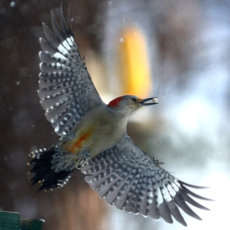 This red-bellied woodpecker finds a treat at the feeder. The Audubon Society has lots of great ideas about keeping birds happy through the winter. Photo by Doug Oster