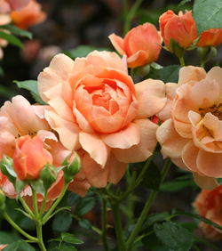 At Last' is the first fragrant disease resistant rose. Its from Proven Winners ColorChoice Shrubs. Not only does it have beautiful flowers, it also produces pretty seed heads called hips in the winter.