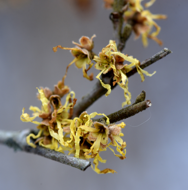 Witch hazel starts blooming in December, this plant is at Frick Park and is just starting to flower.