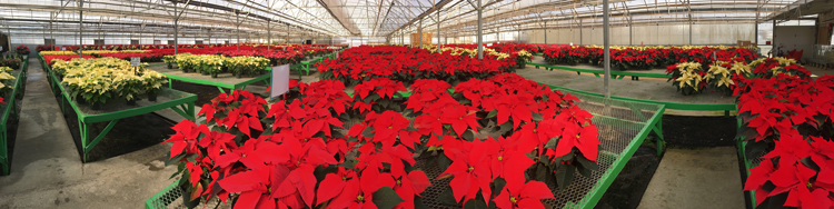 Janoski's Farm and Greenhouse in Clinton has been filled with poinsettias since 1972.