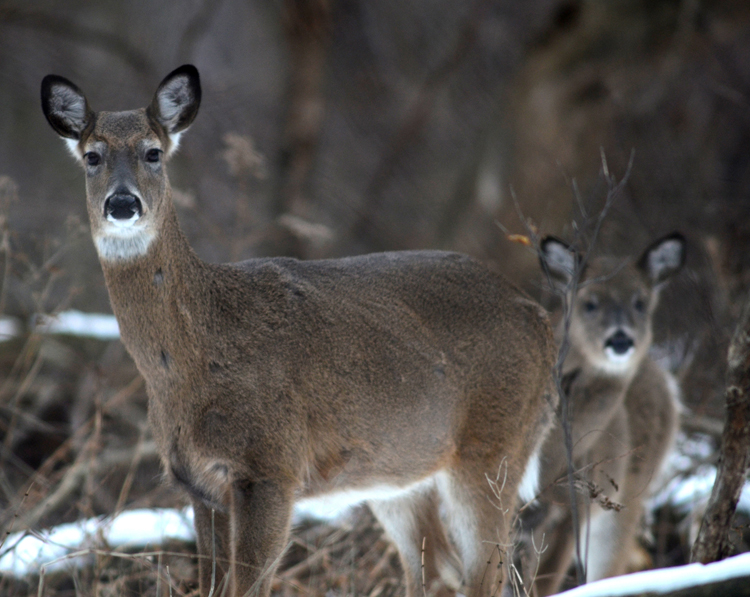 Deer can be a real problem in the garden.