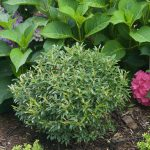 'Gembox' is an inkberry holly from Proven Winners ColorChoice Shrubs. It's being used as a substitute for boxwoods.